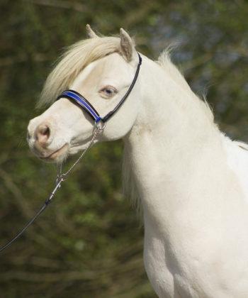 showhalfter-shine-blau-pony