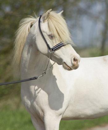 showhalfter-shine-schwarz-pony
