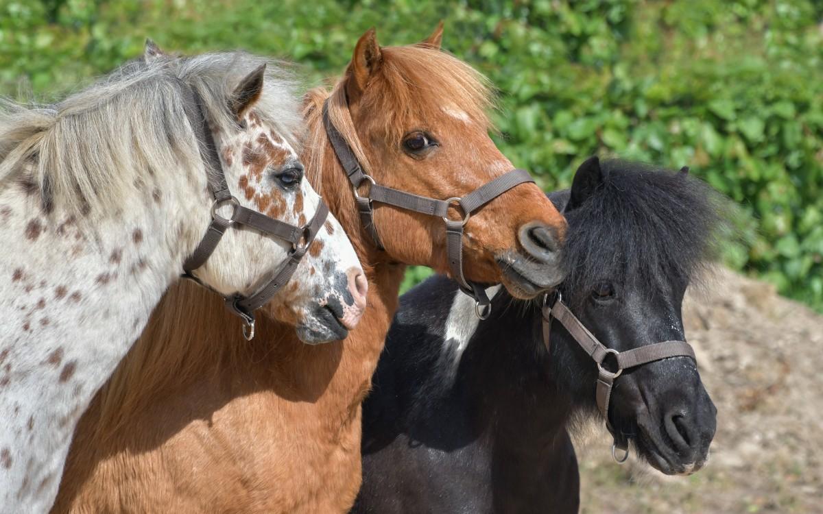 shetty-pony-shop-fuer-shettys